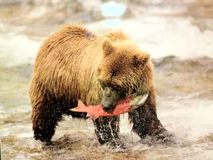 Alaskan Bear and Salmon picture